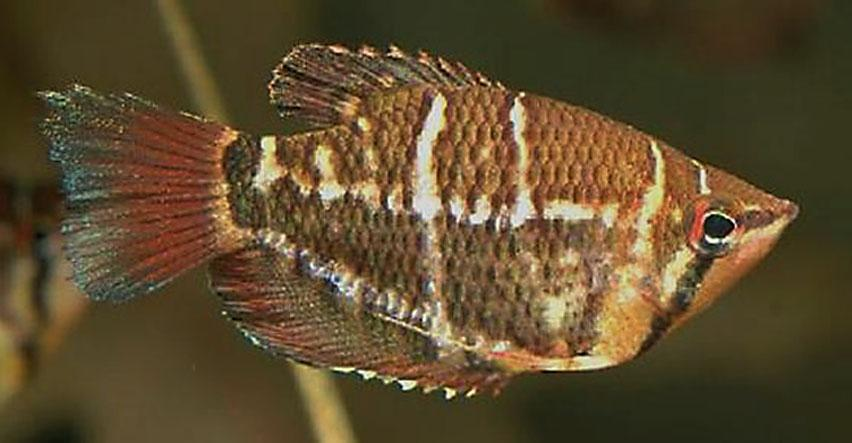 Crossband Chocolate Gourami ML